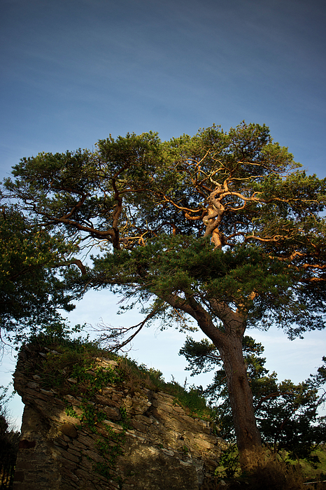 Tree At Maccarthy Mor Castle Photograph