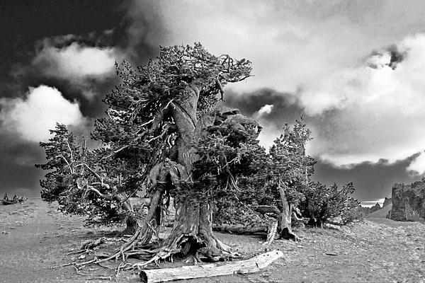 Bristlecone Pine Trees Photograph - Twisted Old Bristlecone Pine Above Crater Lake - Oregon by Christine Till