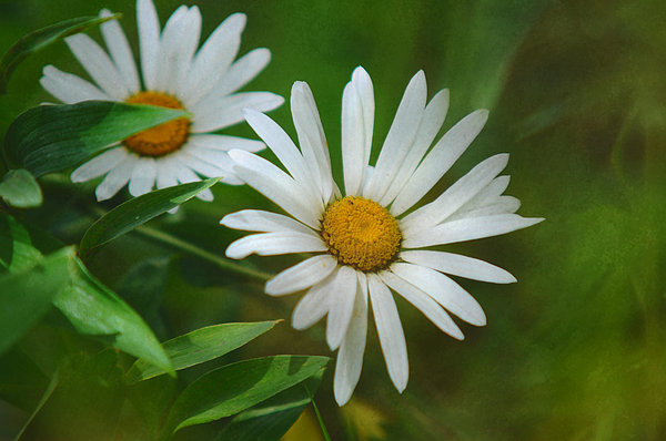 Jenny Rainbow - Two of Us. A Day for Daisies