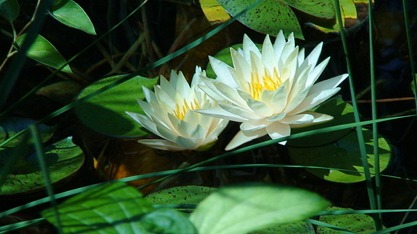 Pond Photograph - Two Waterlilies by Angela Annas