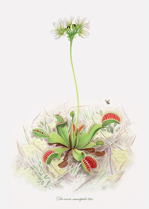 Plants Painting - Venus Fly Trap  by Scott Bennett