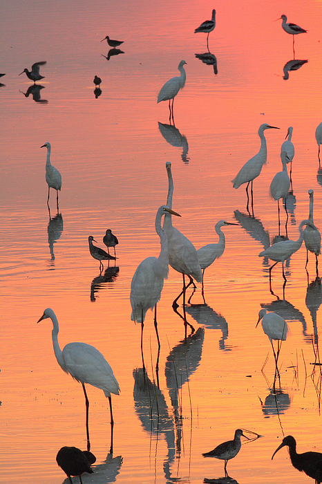 Bombay Hook Photograph - Wading Birds Forage In Colorful Sunset by George Grall