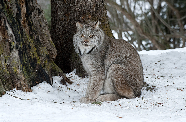 Lynx Photograph - Watching Me Watch You by Sandra Bronstein