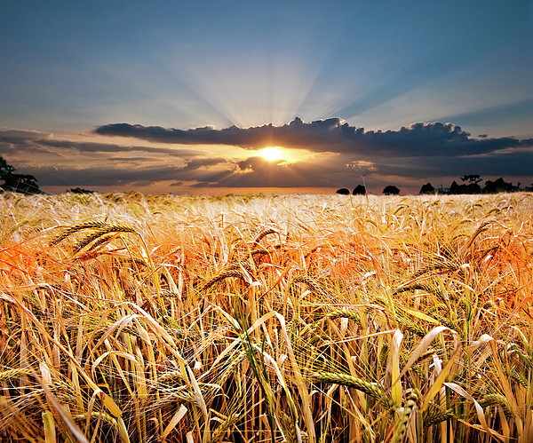 Wheat Photograph - Wheat At Sunset by Meirion Matthias