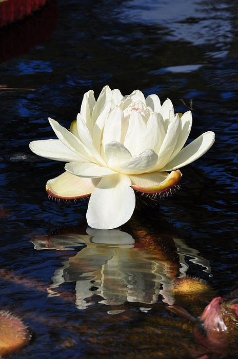 Floral Photograph - White Water Lily by Andrea Everhard