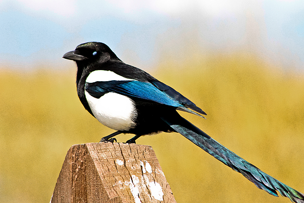 Winking Magpie Print by Mitch Shindelbower