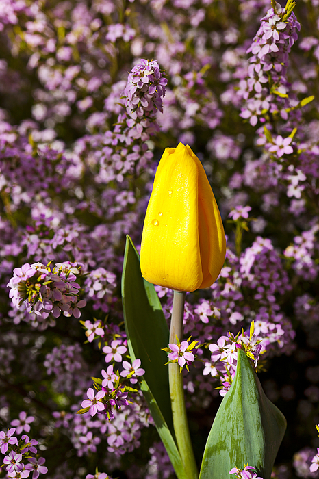 Single Yellow Photograph - Yellow Tulip In The Garden by Garry Gay