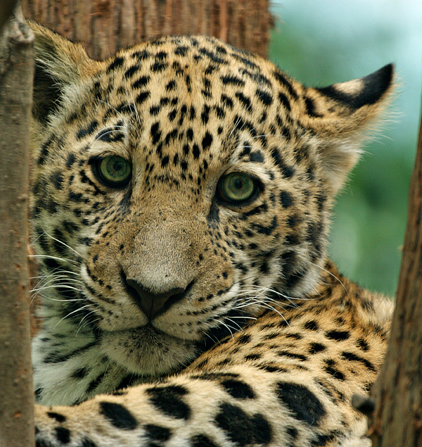 Jaguar Photograph - Young Jaguar by Sandy Keeton