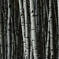 A Forest Of White Birch Trees Betula by Medford Taylor