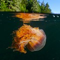 Lions Mane Jellyfish Swimming by Paul Nicklen