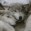 A Couple Of Gray Wolves, Canis Lupus by Jim And Jamie Dutcher
