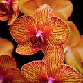 Deep Cut Orchid Society 15th Annual Orchid Show by Dan Pfeffer