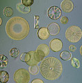 Close View Of Diatoms by Darlyne A. Murawski