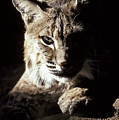 A Bobcat Sitting In A Ray Of Sun by Jason Edwards