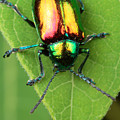 A Dogbane Leaf Beetle, by George Grall