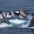 A Group Of Humpback Whales Bubble Net by Ralph Lee Hopkins