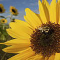 A Honey Bee Visiting A Sunflower by Tim Laman