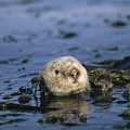 A Sea Otter Floats In A Tangle Of Kelp by Paul Nicklen