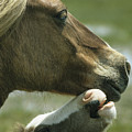 A Wild Pony Foal Nuzzling Its Mother by James L. Stanfield