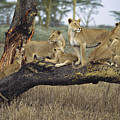 African Lion Panthera Leo Family by Konrad Wothe