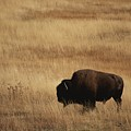 An American Bision In Golden Grassland by Michael Melford