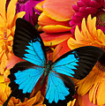 Blue Butterfly On Brightly Colored Flowers by Garry Gay