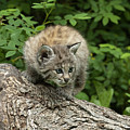 Bobcat Kitten Exploration by Sandra Bronstein