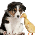 Border Collie Puppy And Domestic Duckling by Life On White