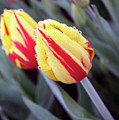 Bright Yellow And Red Tulips by Kami McKeon