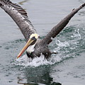 Brown Pelican Landing On Water . 7d8372 by Wingsdomain Art and Photography
