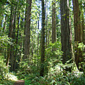 California Redwood Trees Forest Art Prints by Baslee Troutman
