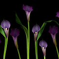 Calla Lilies by Marlene Ford