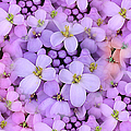Candytuft by Mary P. Siebert