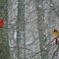 Cardinals In Snow by Serina Wells