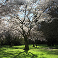 Cherry Blossom Sunshine by Pierre Leclerc Photography