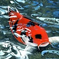 Coy Koi by Charles Parks