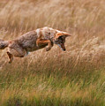 Coyote Leaping - Gibbon Meadows by Photo by DCDavis