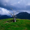 Dead Tree, Connemara, Co Galway, Ireland by The Irish Image Collection