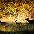 Deer Family In Sycamore Park by Carol Groenen