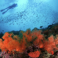 Diver And Soft Corals In Pescador Island by Nature, underwater and art photos. www.Narchuk.com