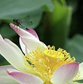 Dragonfly On Lotus by Sabrina L Ryan