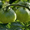 Drops On Immature Green Tomatoes After A Rain Shower by Sami Sarkis