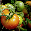 Drops On Immature Red And Green Tomato by Sami Sarkis