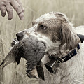 English Setter And Hungarian Partridge - D003092a by Daniel Dempster
