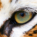 Eye Of The Tiger by Helen Stapleton