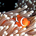 False Clown Anemonefish by Copyright Melissa Fiene