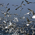 Flock Of Seagulls In The Sea And In Flight by Sami Sarkis