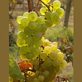 Grape Spiral by Patricia Overmoyer