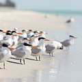 Group Of Terns On Sandy Beach by Angela Auclair