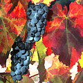 Harvest Time Grapes And Leaves by Elaine Plesser